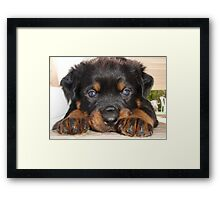 Female Rottweiler Puppy, Head Resting Between Paws Framed Print