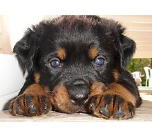 Female Rottweiler Puppy, Head Resting Between Paws Photographic Print