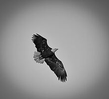 Black and White American Bald Eagle by Thomas Young