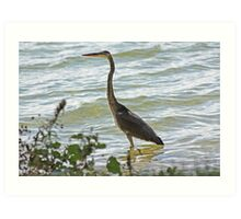 Wading Great Blue Heron Art Print
