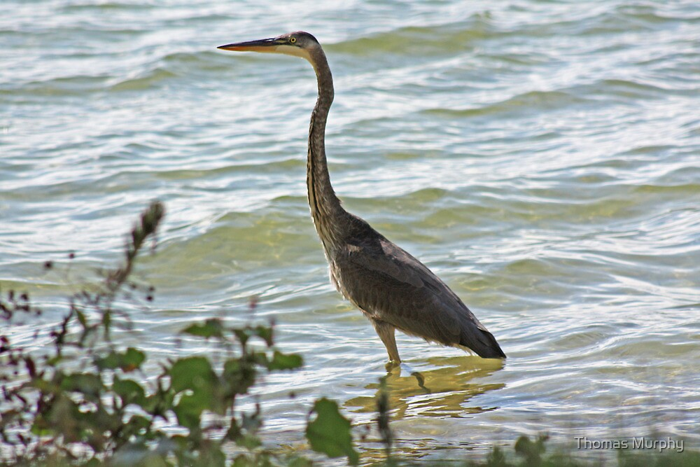 Wading Great Blue Heron by Thomas Murphy