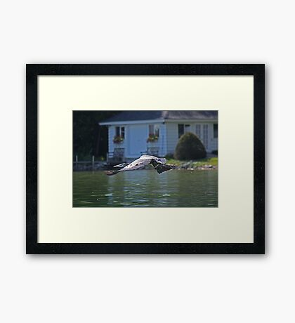 Flying Great Blue Heron Framed Print