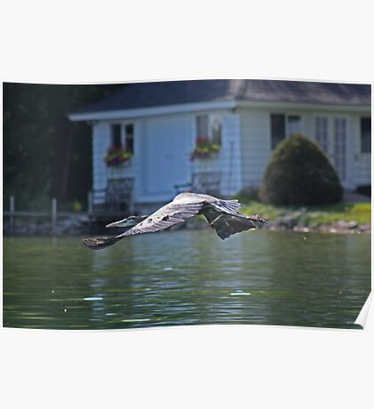 Flying Great Blue Heron Poster