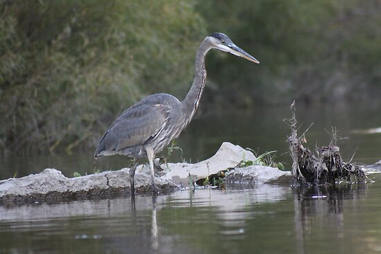 Great Blue Heron on Milwaukee River by Thomas Murphy