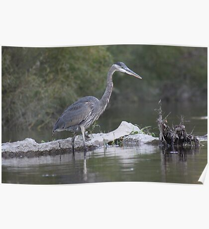 Great Blue Heron on Milwaukee River Poster