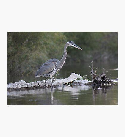 Great Blue Heron on Milwaukee River Photographic Print