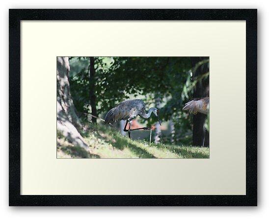 Sandhill Crane photographed in Oconomowoc by Thomas Murphy