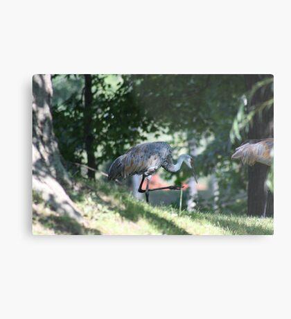 Sandhill Crane photographed in Oconomowoc Metal Print