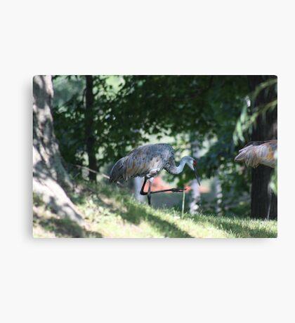 Sandhill Crane photographed in Oconomowoc Canvas Print