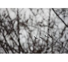 Sandhill Cranes in Whitefish Bay Wisconsin Photographic Print