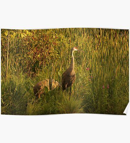 Sandhill Cranes on shore of Lake Poster