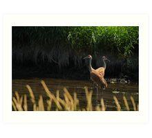 Sandhill Cranes Wading Art Print