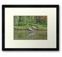Sandhill Cranes Wading in Shallows Framed Print