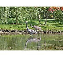 Sandhill Cranes Wading in Shallows Photographic Print
