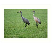 Sandhill Cranes in Grass Field Art Print