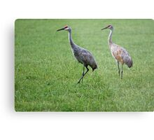 Sandhill Cranes in Grass Field Metal Print