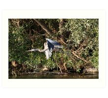 Great Blue Heron Flying Art Print