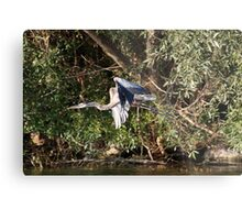 Great Blue Heron Flying Metal Print