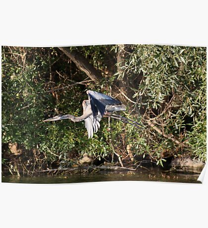 Great Blue Heron Flying Poster
