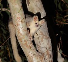 Greater Glider by naturalnomad