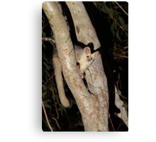 Greater Glider Canvas Print