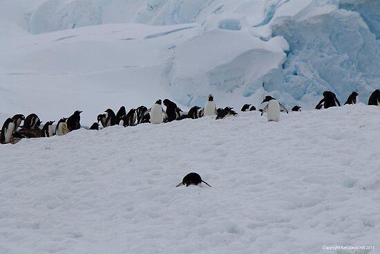 Penguin 022 by Karl David Hill