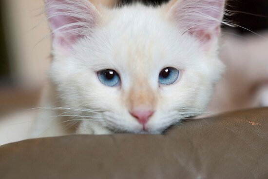 Ragdoll Kitten's eyes by DariaGrippo