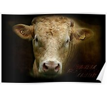 On the Deervale Loop Rd, Dorrigo, NSW, a bull poses for a casual portrait. Poster