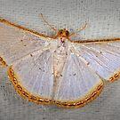 Geometer moth by jimmy hoffman