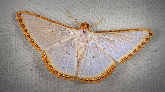 Geometer moth by jimmy hoffman