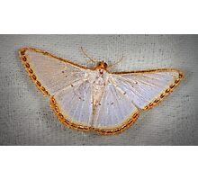 Geometer moth Photographic Print