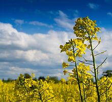 Rape Seed by CPProPhoto