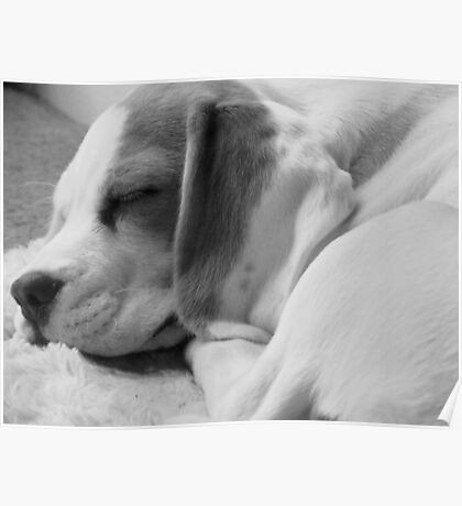 Peaceful Sleeping Beagle Puppy Poster