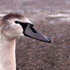 Juvenile Swan by redown