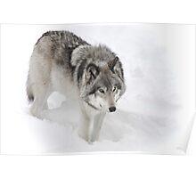 Timber Wolf aka Grey Wolf Poster