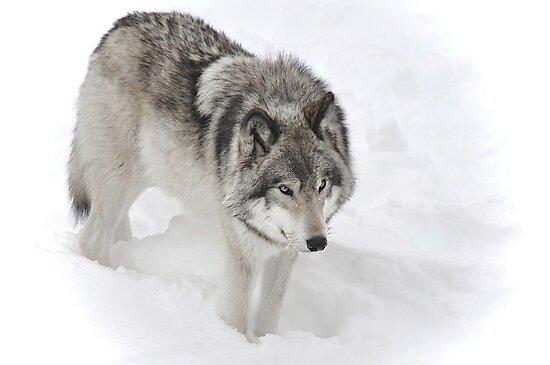 Timber Wolf aka Grey Wolf by Poete100