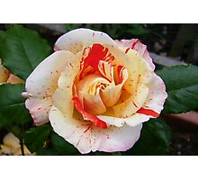 Rose of Beauty Photographic Print