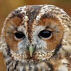Tawny Owl portrait by Gary Richardson