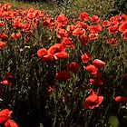 poppies by Gaspare De Stefano