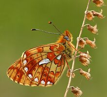 Pearl-bordered Fritillary by Lisa  Baker-Richardson