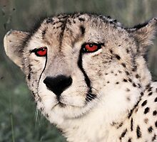 A cheetah at Londolozi by jozi1
