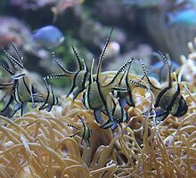 Banggai Cardinalfish by aussiebushstick