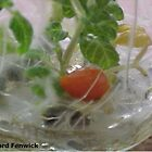 Micropropagation – Tomato by RichardFenwick