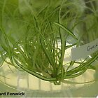 Micropropagation – Carex by RichardFenwick