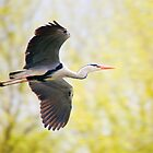 Heron In Flight by CPProPhoto