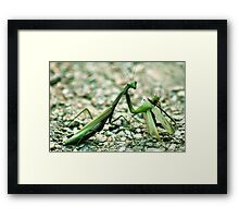 Female praying mantis eating male one Framed Print