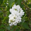 White Lilac by mussermd