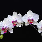 Orchids by Floyd Hopper