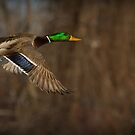 Mr. Mallard by Jeff Weymier