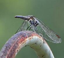 A winged beauty by vigor